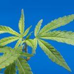 産業用大麻って何に使うの?幻覚作用のあるマリファナとの違いは?